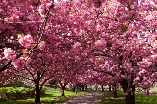 Цветение сакуры.jpg